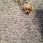 Danville-Dog-carpet-clean